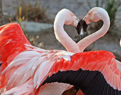 Heart flamingos